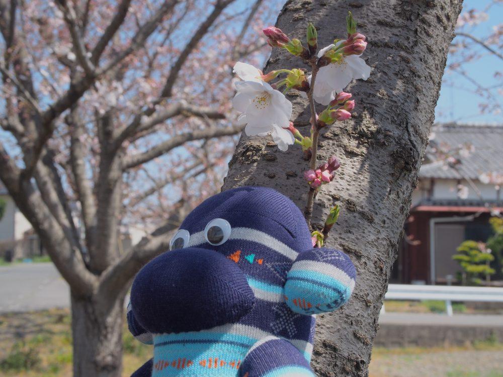 桜の下 遠くを見る