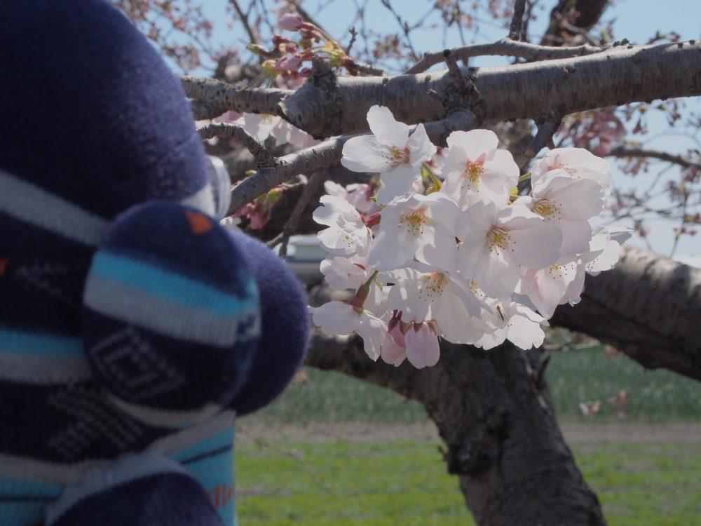 おのくん桜鑑賞