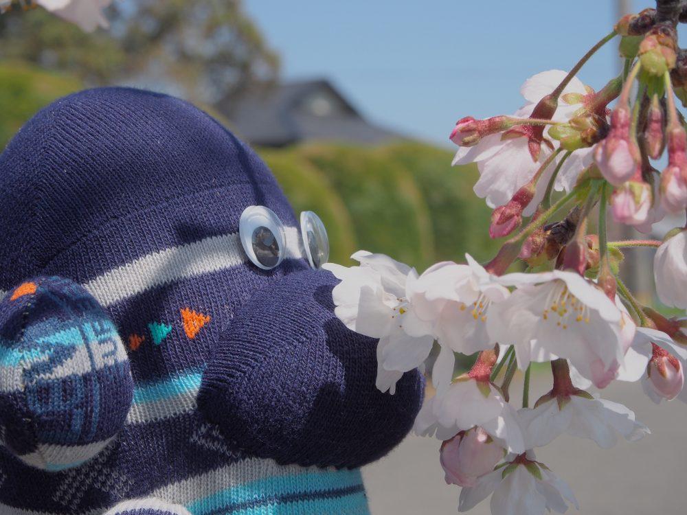 桜のにおい